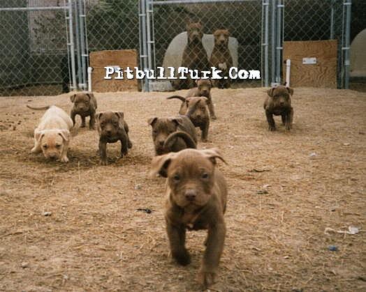 pitbull-turk1.jpg