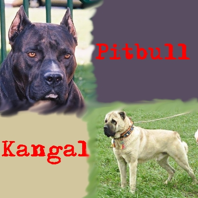 Pitbullpuppies Youtube on Pitbull Vs Kangal  Biggest Turkish Shepherd Dog Gallery In Youtube