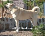 kangal resimleri kangal dövüşü köpek dövüşü1