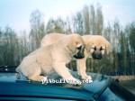kangal resimleri kangal dövüşü köpek dövüşü101