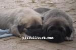 kangal resimleri kangal dövüşü köpek dövüşü105