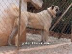 kangal resimleri kangal dövüşü köpek dövüşü11