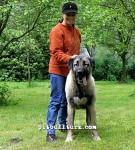 kangal resimleri kangal dövüşü köpek dövüşü18