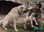 kangal resimleri kangal dövüşü köpek dövüşü21