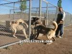 kangal resimleri kangal dövüşü köpek dövüşü23
