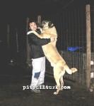 kangal resimleri kangal dövüşü köpek dövüşü24