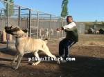 kangal resimleri kangal dövüşü köpek dövüşü25