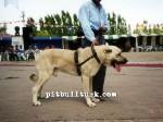 kangal resimleri kangal dövüşü köpek dövüşü27