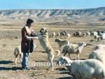 kangal resimleri kangal dövüşü köpek dövüşü28