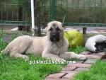 kangal resimleri kangal dövüşü köpek dövüşü32