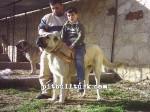 kangal resimleri kangal dövüşü köpek dövüşü33