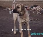 kangal resimleri kangal dövüşü köpek dövüşü38