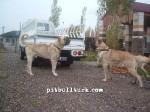 kangal resimleri kangal dövüşü köpek dövüşü39