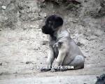 kangal resimleri kangal dövüşü köpek dövüşü4
