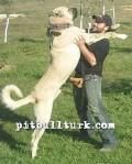 kangal resimleri kangal dövüşü köpek dövüşü44