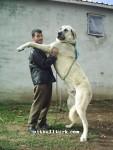 kangal resimleri kangal dövüşü köpek dövüşü45