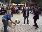kangal resimleri kangal dövüşü köpek dövüşü46