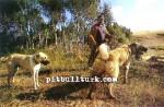 kangal resimleri kangal dövüşü köpek dövüşü47