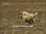 kangal resimleri kangal dövüşü köpek dövüşü48