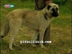 kangal resimleri kangal dövüşü köpek dövüşü49