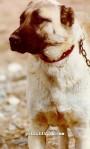 kangal resimleri kangal dövüşü köpek dövüşü51