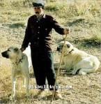 kangal resimleri kangal dövüşü köpek dövüşü52