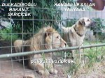 kangal resimleri kangal dövüşü köpek dövüşü53