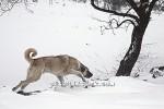 kangal resimleri kangal dövüşü köpek dövüşü54