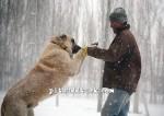 kangal resimleri kangal dövüşü köpek dövüşü55