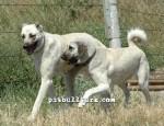 kangal resimleri kangal dövüşü köpek dövüşü56
