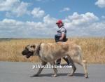 kangal resimleri kangal dövüşü köpek dövüşü59