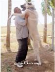 kangal resimleri kangal dövüşü köpek dövüşü60