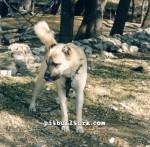 kangal resimleri kangal dövüşü köpek dövüşü62