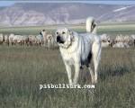 kangal resimleri kangal dövüşü köpek dövüşü63