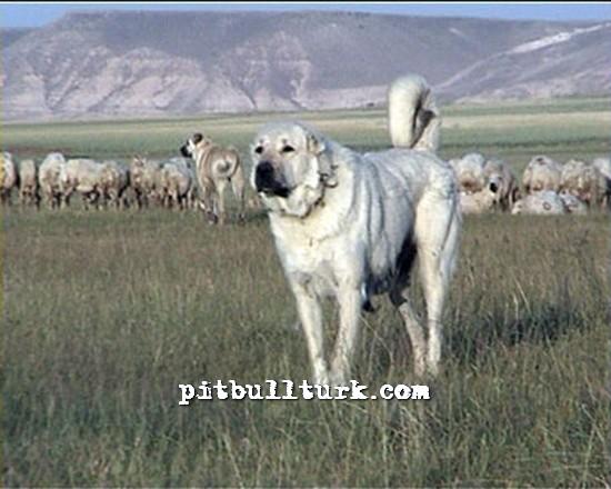 Pek Fiyatlar Kangal Pitbul Dogo Argentino Bilgileri