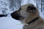 kangal resimleri kangal dövüşü köpek dövüşü64