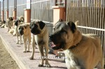 kangal resimleri kangal dövüşü köpek dövüşü65