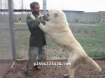 kangal resimleri kangal dövüşü köpek dövüşü70