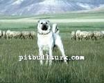 kangal resimleri kangal dövüşü köpek dövüşü71