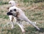 kangal resimleri kangal dövüşü köpek dövüşü74