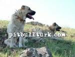 kangal resimleri kangal dövüşü köpek dövüşü75