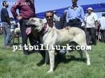 kangal resimleri kangal dövüşü köpek dövüşü80