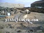 kangal resimleri kangal dövüşü köpek dövüşü82
