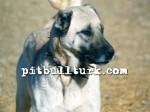 kangal resimleri kangal dövüşü köpek dövüşü86