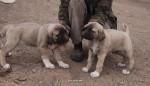 kangal resimleri kangal dövüşü köpek dövüşü9