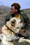 kangal resimleri kangal dövüşü köpek dövüşü90