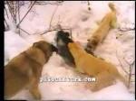 kangal resimleri kangal dövüşü köpek dövüşü92