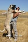kangal resimleri kangal dövüşü köpek dövüşü94