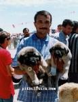 kangal resimleri kangal dövüşü köpek dövüşü95