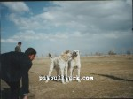 kangal resimleri kangal dövüşü köpek dövüşü98